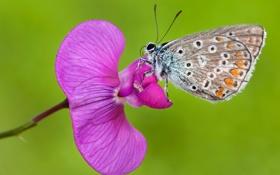 Обои цветок, растение, насекомое, бабочка, природа, мотылек, лепестки