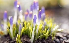 Картинка капли, цветы, земля, растения, весна, крокусы, сиреневые