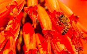 Обои природа, цветок, пчела, насекомое, растение
