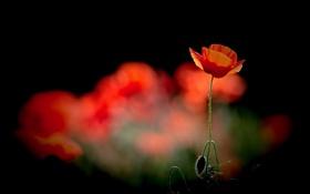 Картинка цветок, цветы, красный, мак, бутоны, теаный фон