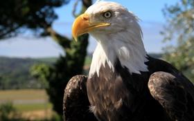Обои природа, птица, голова, перья, клюв, белоголовый орлан, bald eagle