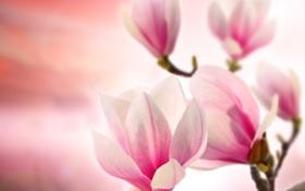 Картинка цветы, ветки, flowers, магнолия, branches, Magnolia