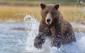 Картинка вода, брызги, рыбалка, Аляска, медведица, Katmai National Park, большой бурый медведь