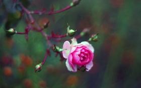 Обои роза, бутоны, розовая, цветок