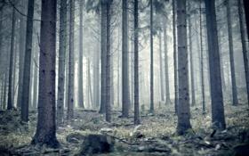 Картинка лес, туман, стволы, утро, сосны, германия, germany