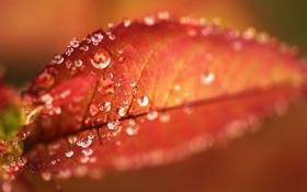 Картинка осень, капли, макро, роса, листок