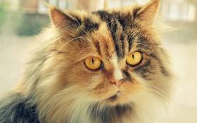 Картинка кошка, кот, морда, пушистый, мех, котэ