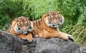 Обои кошки, камень, пара, тигры