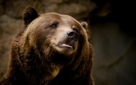 Обои морда, портрет, медведь