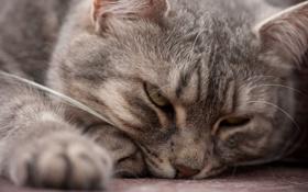 Обои кот, серый, мордочка, лежит