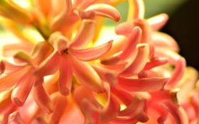 Обои природа, цветок, оранжевый, гиацинт