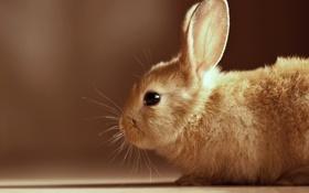 Картинка кролик, профиль, уши, коричневый фон