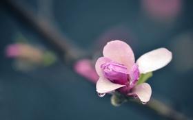 Картинка цветок, капли, макро, фото, растения, лепестки, розовые