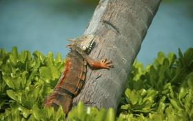 Обои трава, дерево, ящерица, игуана, Iguana