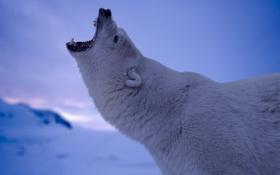 Обои морда, хищник, пасть, белый медведь