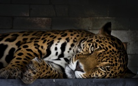 Обои пятна, хищник, ягуар