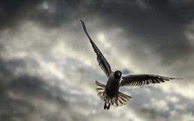 Картинка небо, полет, тучи, птица, крылья, чайка