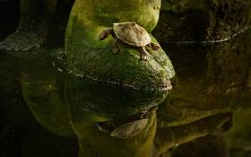 Обои вода, отражение, мох, черепаха, ситуация, зеркало, forest
