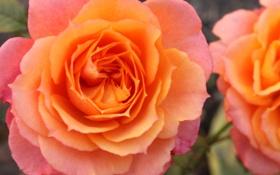 Обои цветы, желтый, розовый, розы