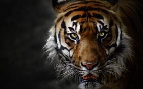 Картинка взгляд, шерсть, кошка, тигр, усы