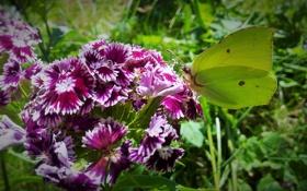 Обои макро, лимонница, турецкая гвоздика, бабочка
