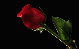 Обои лист, роза, лепестки, бутон, ножка