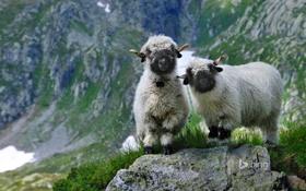Обои камни, трава, овцы, Вале, горы, скалы, Швейцария