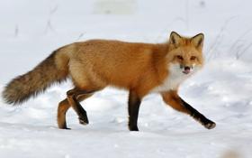 Картинка язык, снег, лиса, лисица