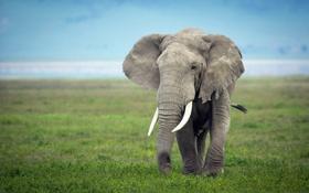Обои природа, поле, слон