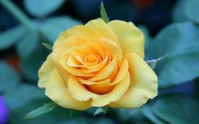 Картинка желтый, растение, зелень, лепестки, роза, цветок, розы