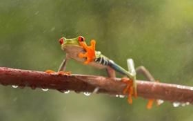 Обои глаза, капли, дождь, ветви, лягушка, лапы