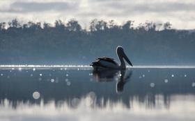 Обои озеро, птица, пеликан