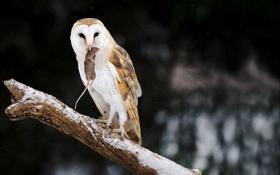 Картинка природа, сова, птица, мышка, охота