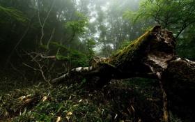 Картинка лес, лето, природа, туман, фото, дерево, мох