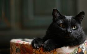Картинка кот, взгляд, фон, черный