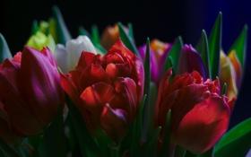 Картинка листья, лепестки, сад, тюльпаны, клумба