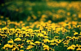 Картинка цветы, поляна, весна, желтые, одуванчики, цветение, spring
