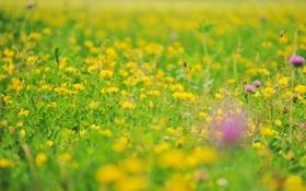 Обои цветы, размытость, полевые, лютики
