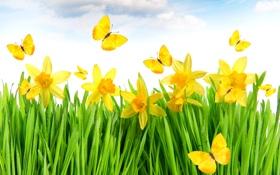 Обои grass, yellow, flowers, spring, meadow, butterflies, daffodils