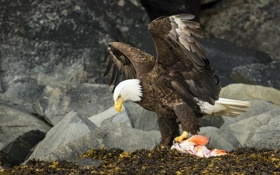 Картинка raptor, american bald eagle, View to a Kill