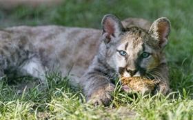 Обои трава, детёныш, кугуар, горный лев, ©Tambako The Jaguar, котёнок, пума