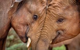 Обои природа, Африка, слоны