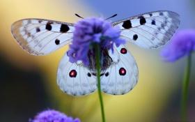 Обои цветок, крылья, бабочька, King of Alps