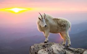 Картинка mountain, sunrise, козёл, goat