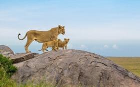 Картинка Africa, Lions, big cats
