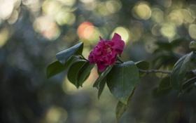 Обои листья, ветка, цветение, розовая камелия