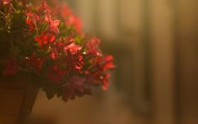 Картинка цветы, лепестки, красные, горшок