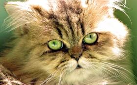Обои кошка, глаза, кот, морда, шерсть, зелёные