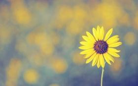 Обои sunflower, цветок, лепесток
