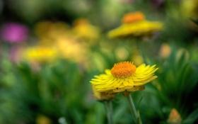 Картинка макро, цветы, природа, желтые, лдето